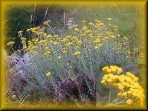 Helichrysum italicum (Roth) G. - Don